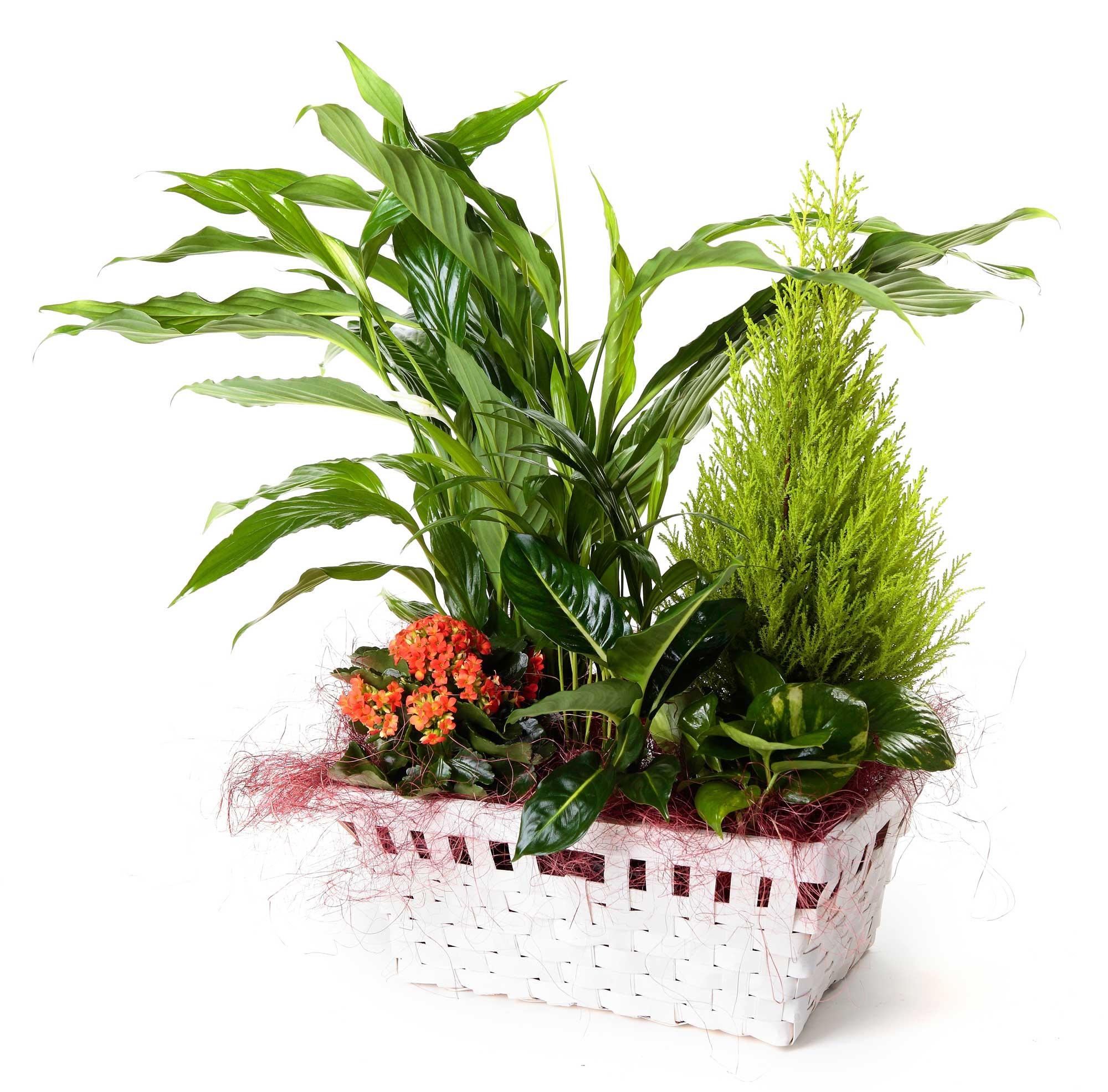 Cesta de plantas con spatifilium regalo cestas de plantas plantas en le n flor flora - Plantas pequenas para regalar boda ...