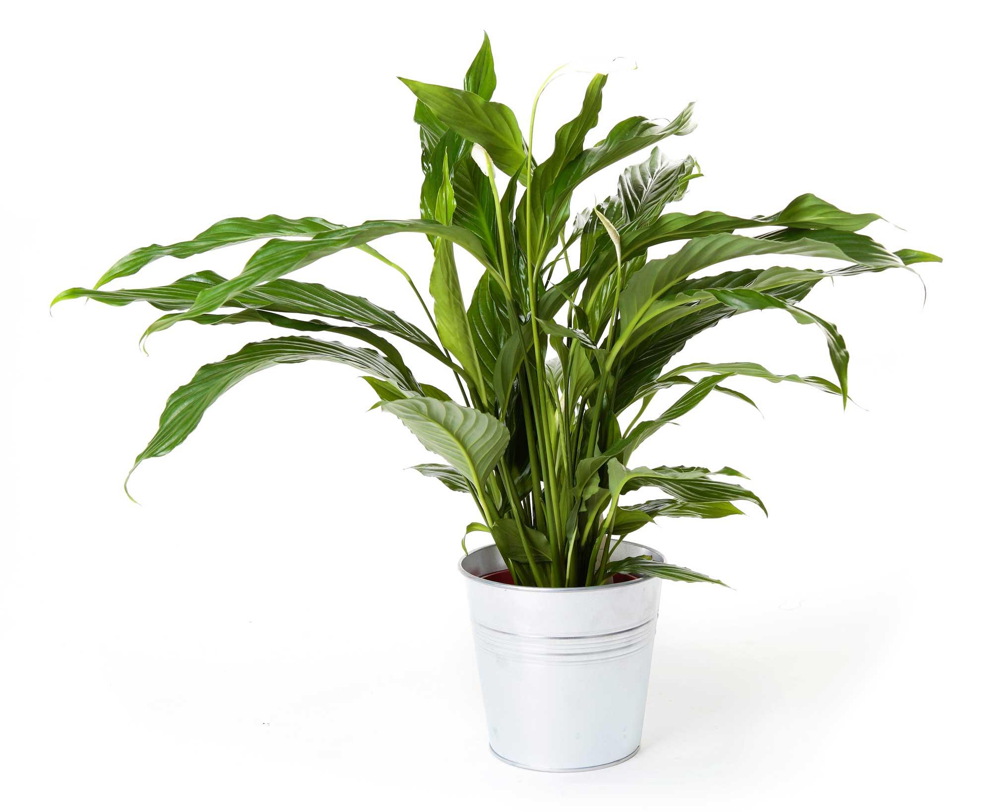 Planta spatifilium regalos plantas de interior - Macetas para plantas de interior ...