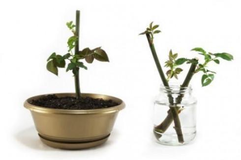 multiplicar por esquejes flores y plantas blog flor ForPlanta Ornamental Que Se Reproduzca Por Esquejes
