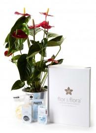 Anthurium y caja regalo plus azul