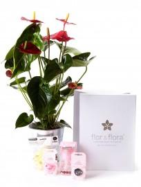Anthurium y caja regalo plus rosa