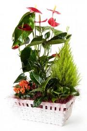 Cesta de plantas con anthurium + regalo