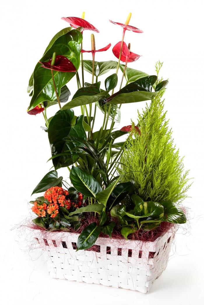 Cesta de plantas con anthurium_cesta-con-anthurium