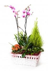 Cesta de plantas con orquidea + regalo