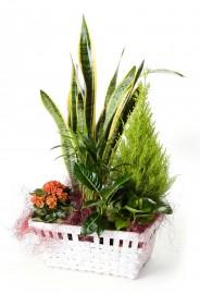 Cesta de plantas con sansevieria + regalo