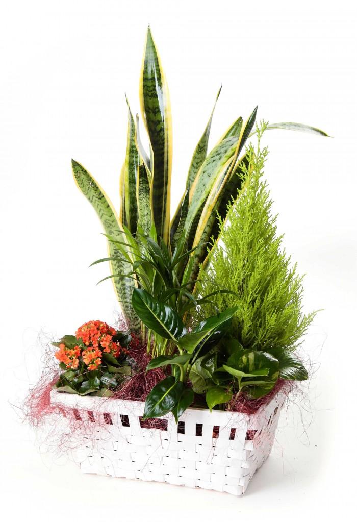 Cesta de plantas con sansevieria_cesta-con-sanseviera