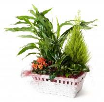 Cesta de plantas con spatifilium + regalo