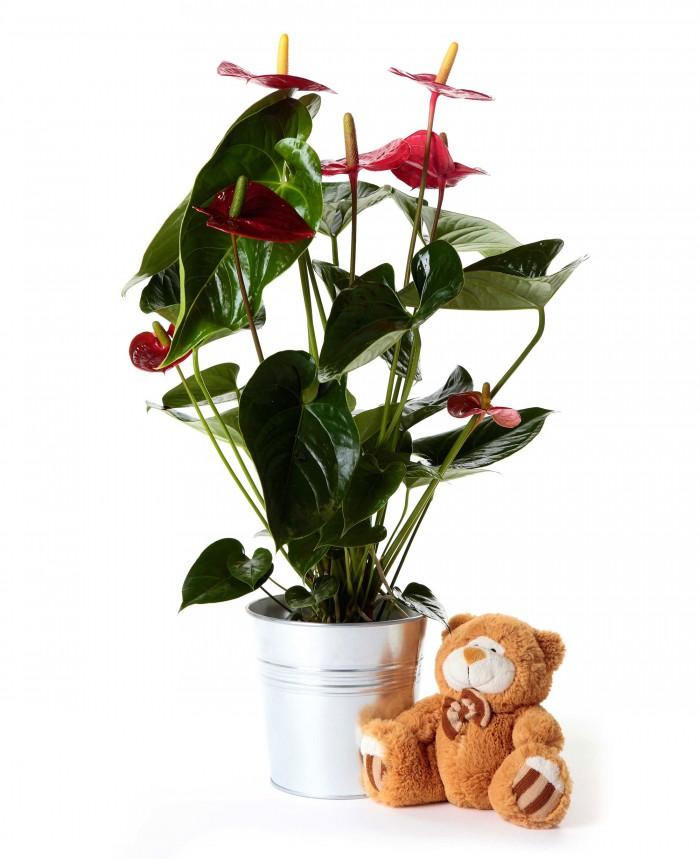 Planta anthurium + peluche variado_anthurium-17-cm-con-peluche-variado