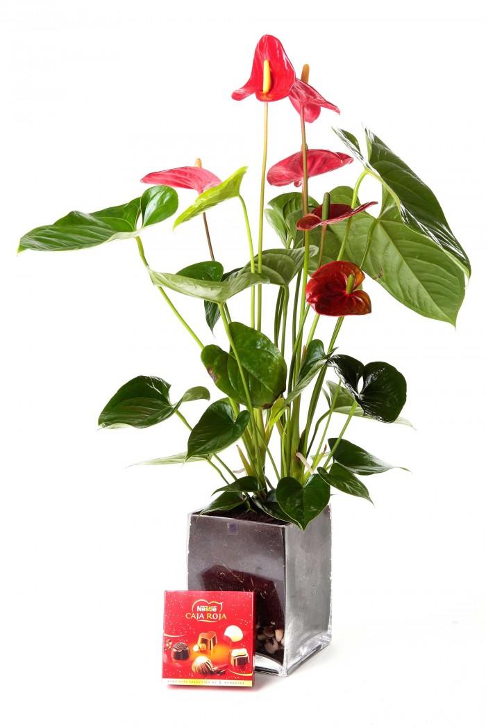Planta anthurium_anthurium-con-jarron-cristal-y-bombones