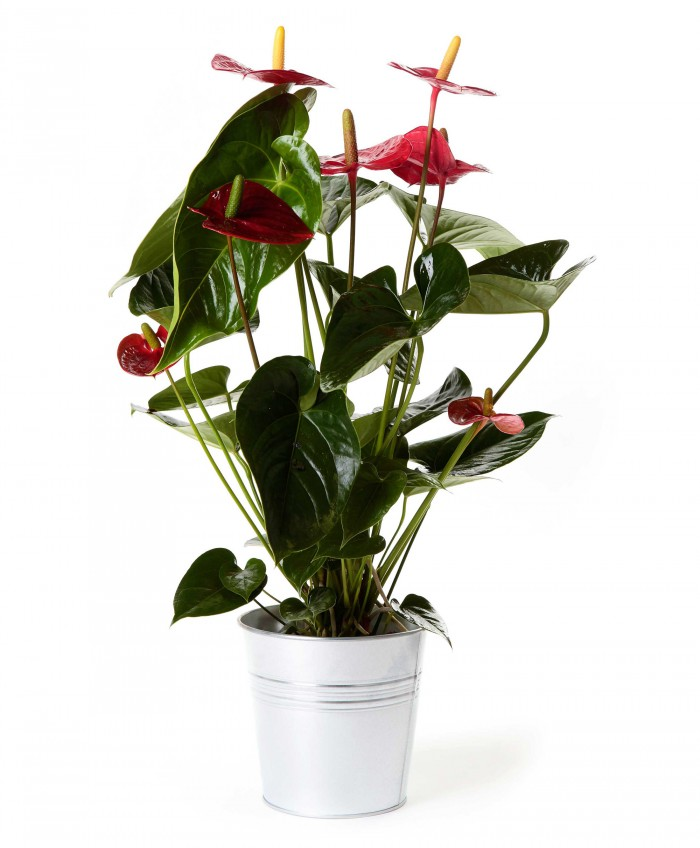 Planta anthurium_anthurium-17-cm