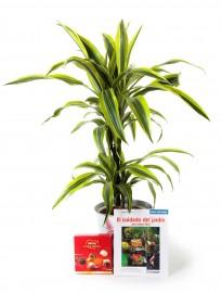 Planta dracaena lemon + regalos