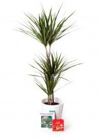 Planta dracaena marginata + regalos