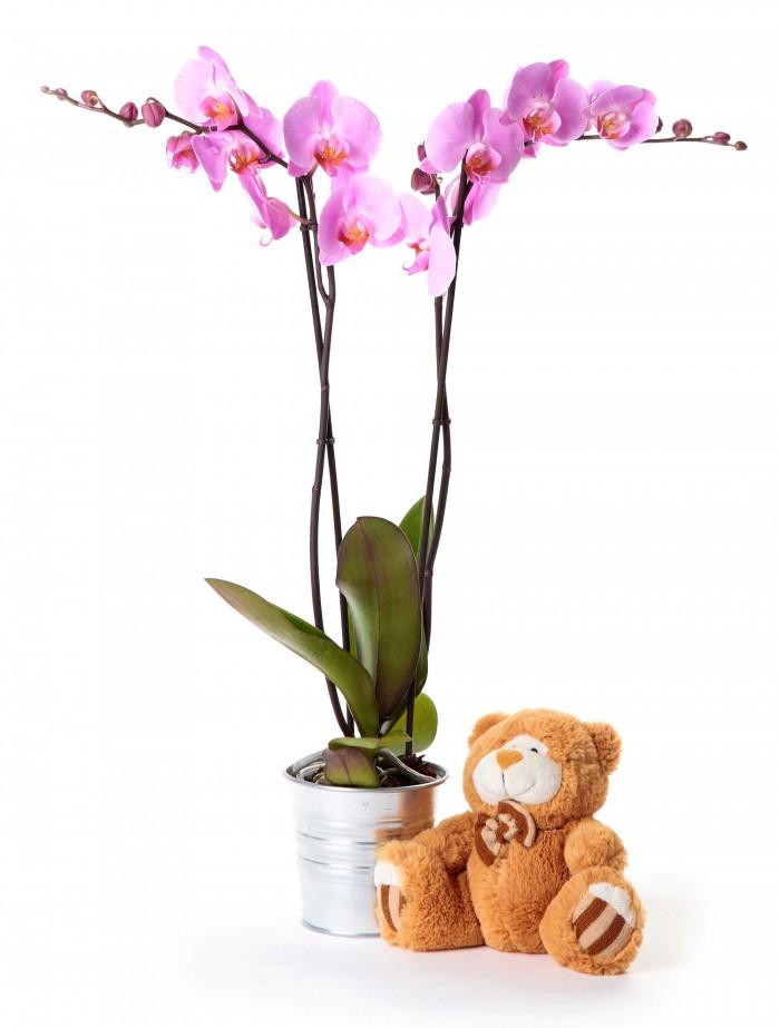 Planta orquidea de 2 varas + peluche variado_orquidea-2-varas-con-peluche-variado