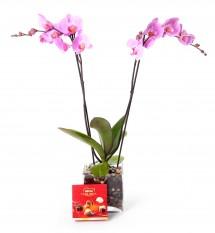 Planta orquidea de 2 varas en jarrón de cristal + regalos