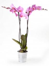 Planta orquidea de 2 varas