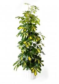 Planta schefflera + regalos