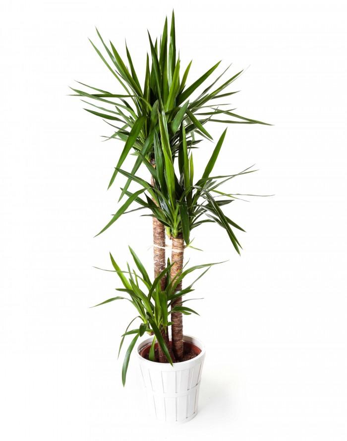 Planta yuca regalos plantas de interior plantas en for Yuca planta de exterior