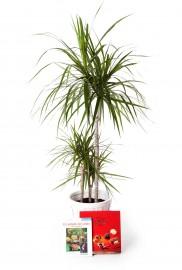 Plantra dracaena marginata grande + regalos
